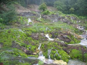 六合入山のチャツボミゴケ群生地