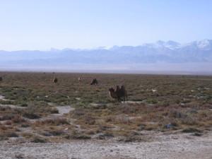 国道109号ラクダの放牧