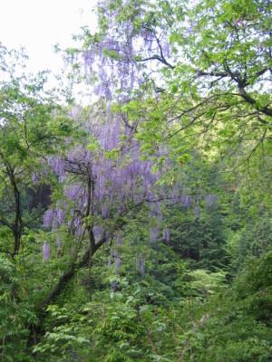 阿寺渓谷 藤の花
