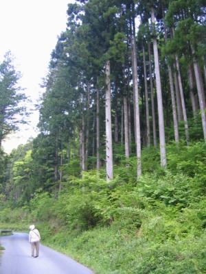 阿寺渓谷 ひのき林