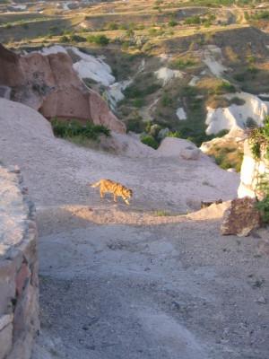 カッパドキア ネコ横断