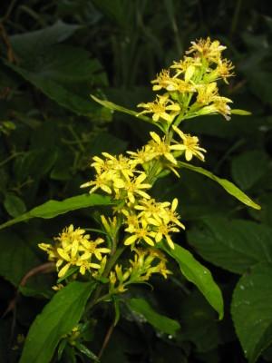 三国山 高山植物
