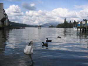 ウィンダミア湖 湖水の白鳥