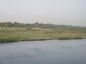 ナイルの牛の放牧