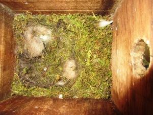子育てを終えたシジューカラの巣箱