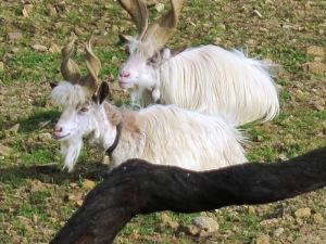 シチリア・アグリジェントの山羊