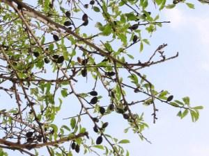 アグリジェント アーモンドの木
