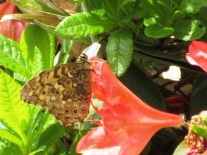 湯の丸高原つつじ平の蝶