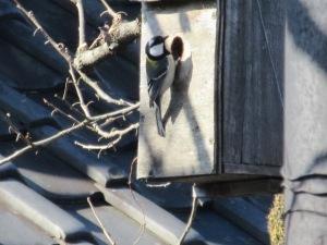 巣箱に入ろうとするシジュウカラ