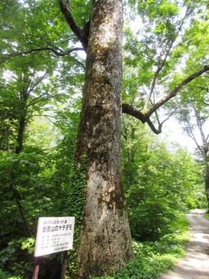 温身平 ヤチダモの巨木
