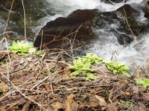 オシンコシンの滝のフキノトウ