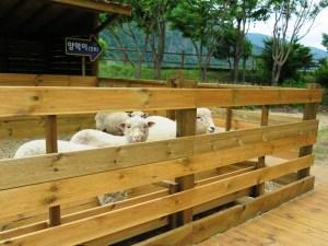 アラリ村の子羊ちゃん