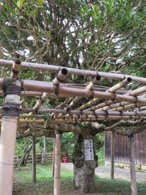 竹生島 モチの木