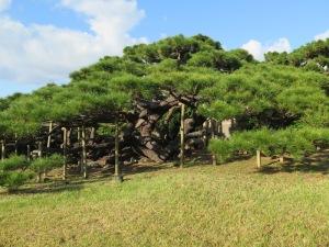 久米島 五枝の松