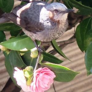 椿の花弁を啄むヒヨドリ(平成31年)