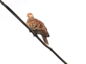 南を向く山鳩