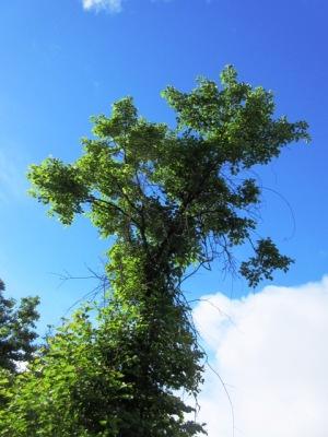 榛名富士山頂ウグイスが囀る木