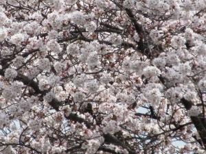 令和3年4月2日桜満開