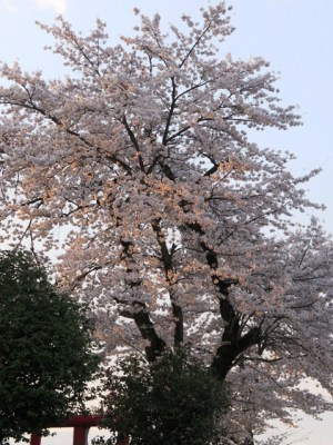 4月6日朝方の桜1