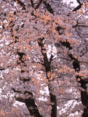 令和3年4月6日朝方の桜2
