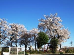 令和3年桜咲く(夕方)